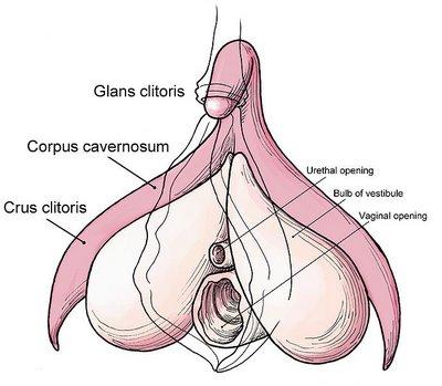 clitoris, cuerpo del clítoris, sexo femenino